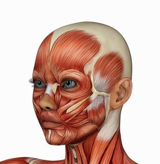 女性顔筋肉フリー画像.jpg