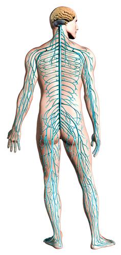 神経配置図 小.jpg