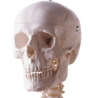 頭蓋骨フリー画像.jpg